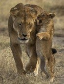 lioness-with-cub-whispering-in-her-ear