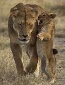 львица с детенышем шепот в ее вкладыши